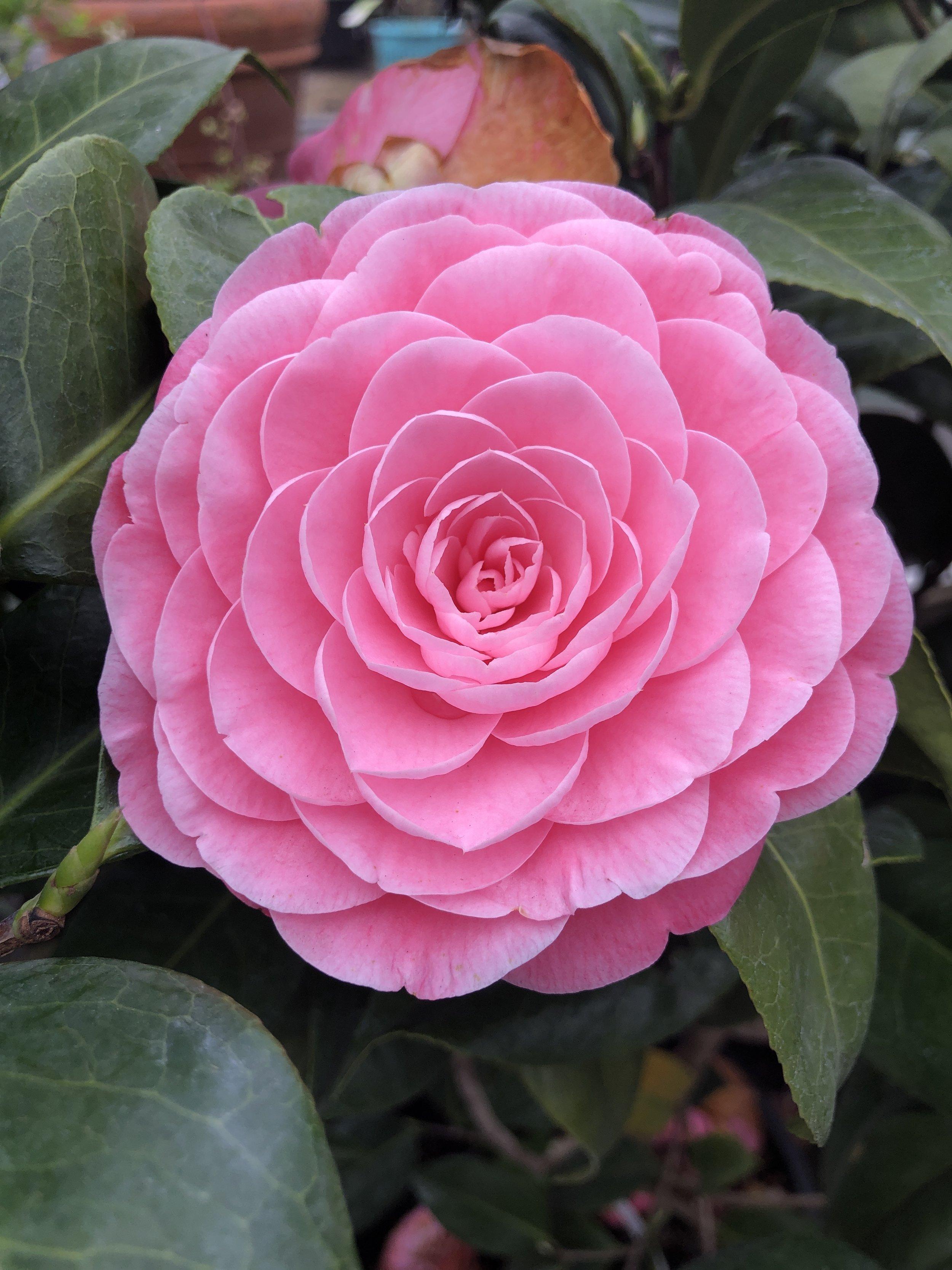 Camellia 'Nuccio's cameo'