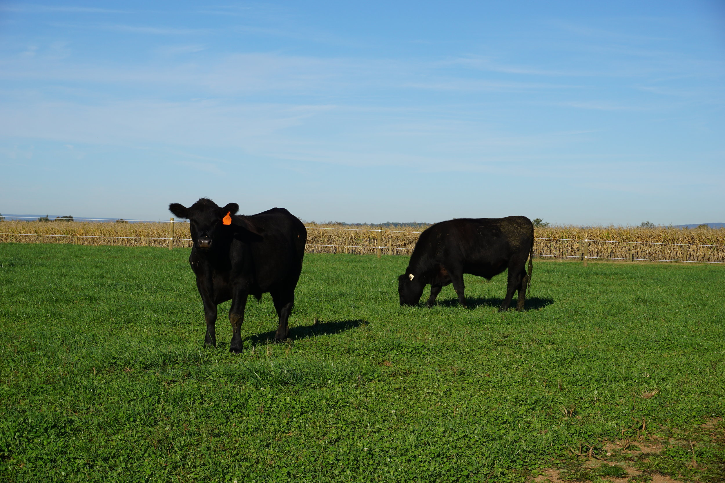 Locust Point Cattle Company | Two Cows at Pasture