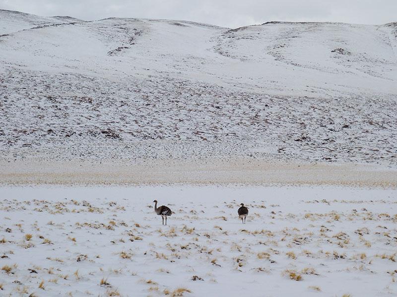 Ostrich in snow?