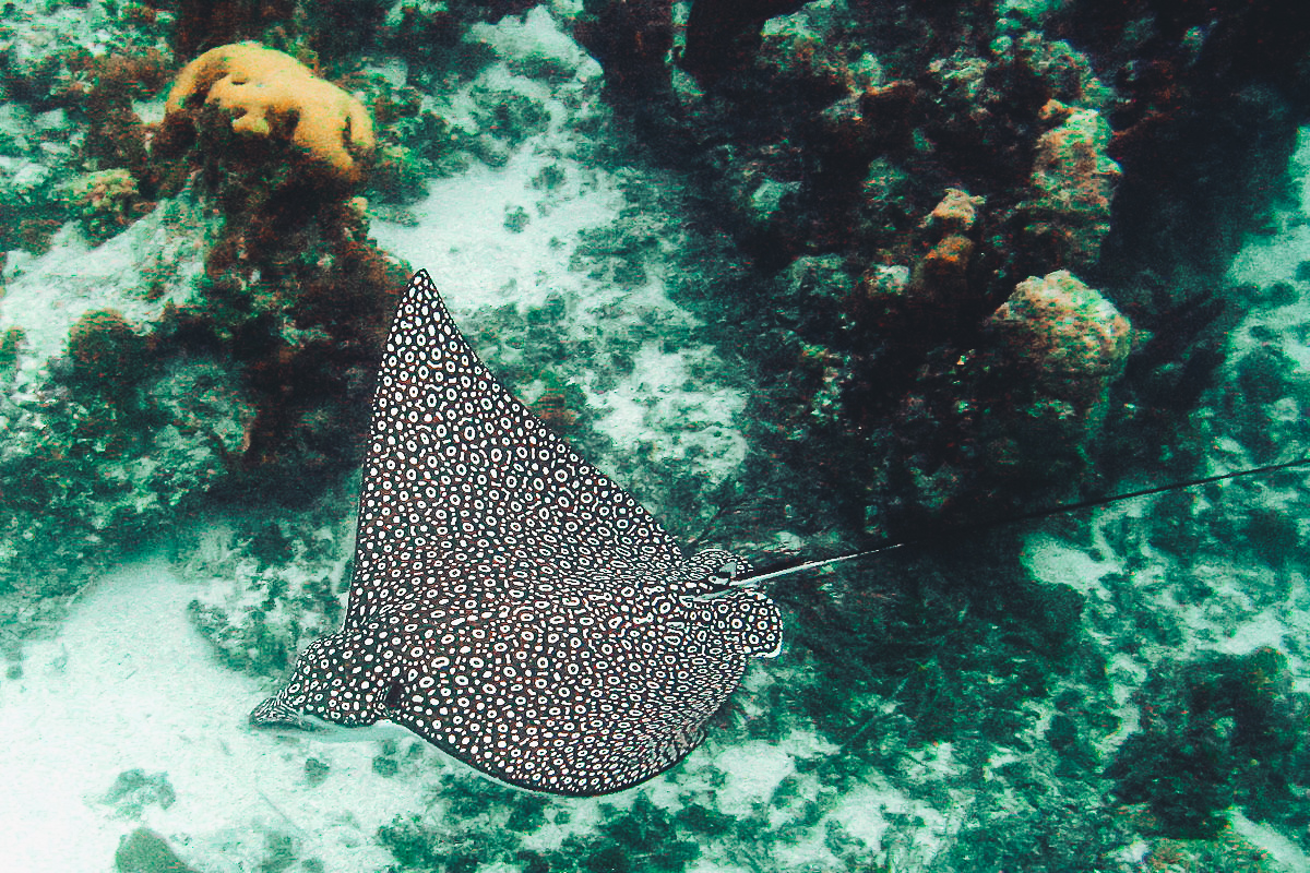1200px-Eagle_Ray_Turks_and_Caicos_Dec_15_2006-2.jpg
