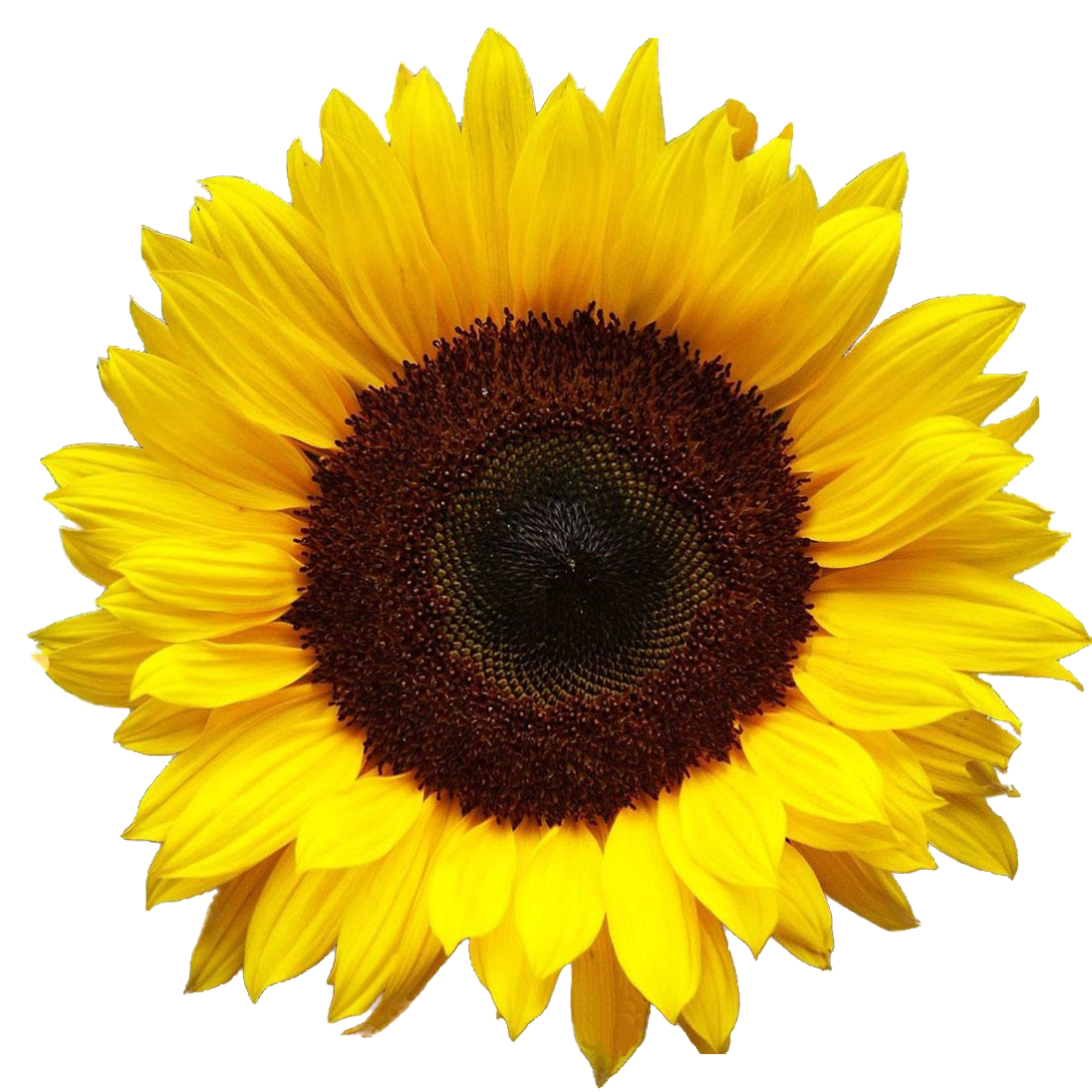 sunflowers-png-17.png