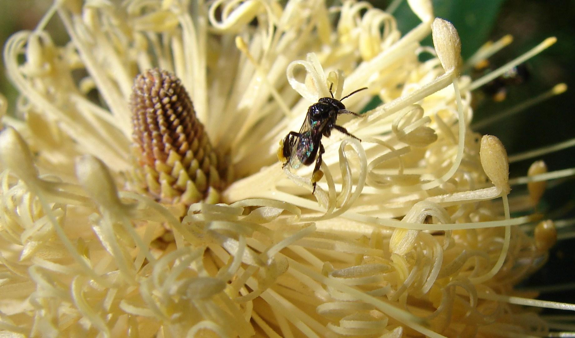 Stingless-Native-Bee.jpg
