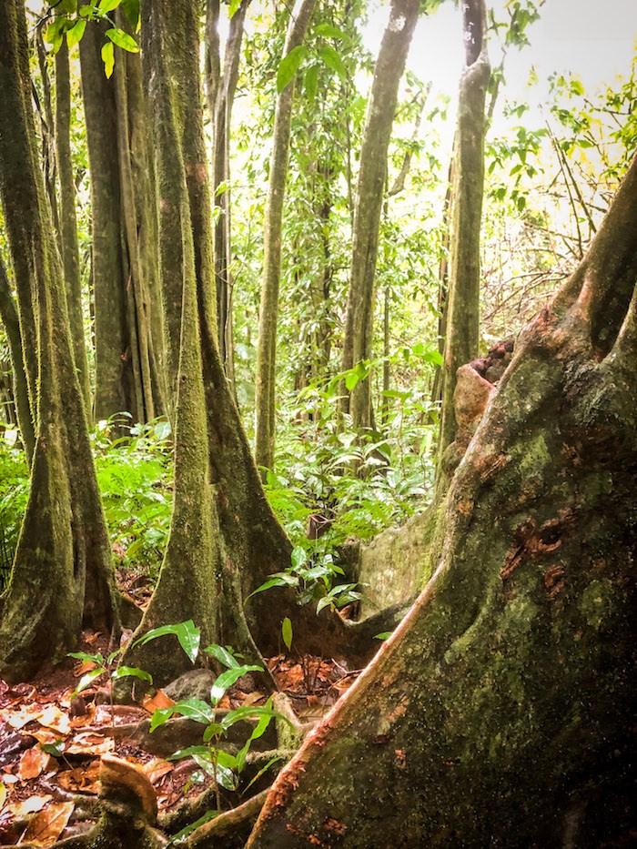 Thick rainforest and jungle embraces you on Les Trois Cocotier Trail, Moorea