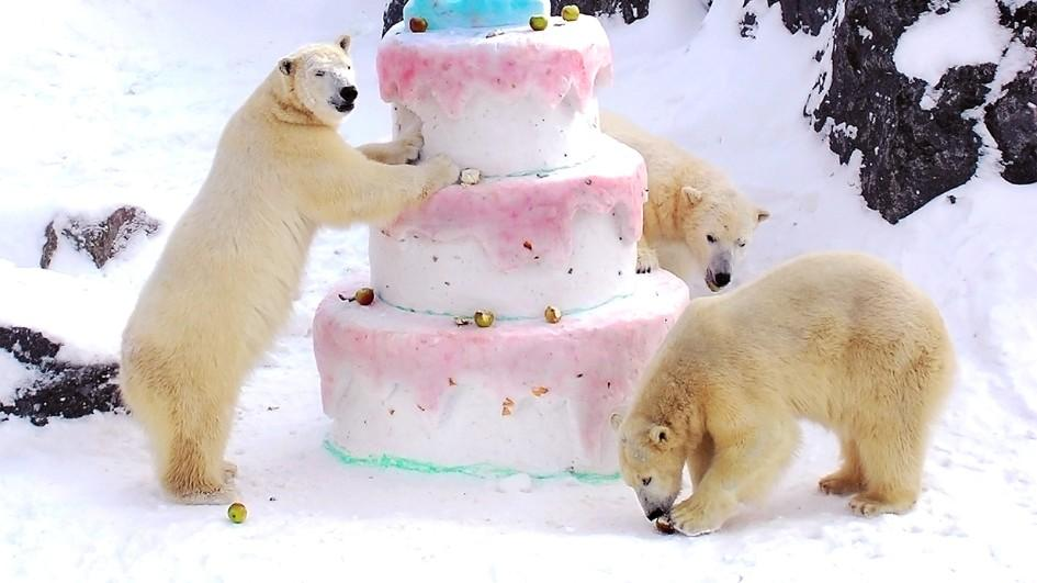 captive-polar-bears-frozen-treat.adapt.945.1.jpg