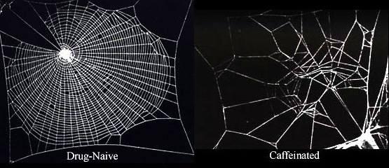 effetto della caffeina sui ragni.jpg
