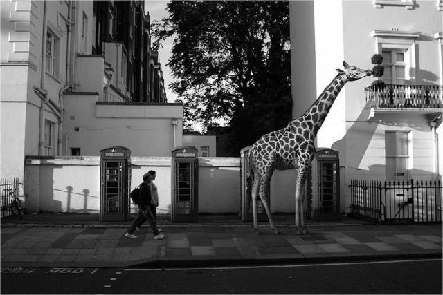 giraffe in the city_ceslovas cesnakevicius.jpg