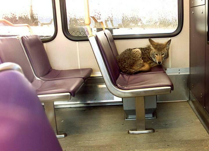 lupo in metro.jpg