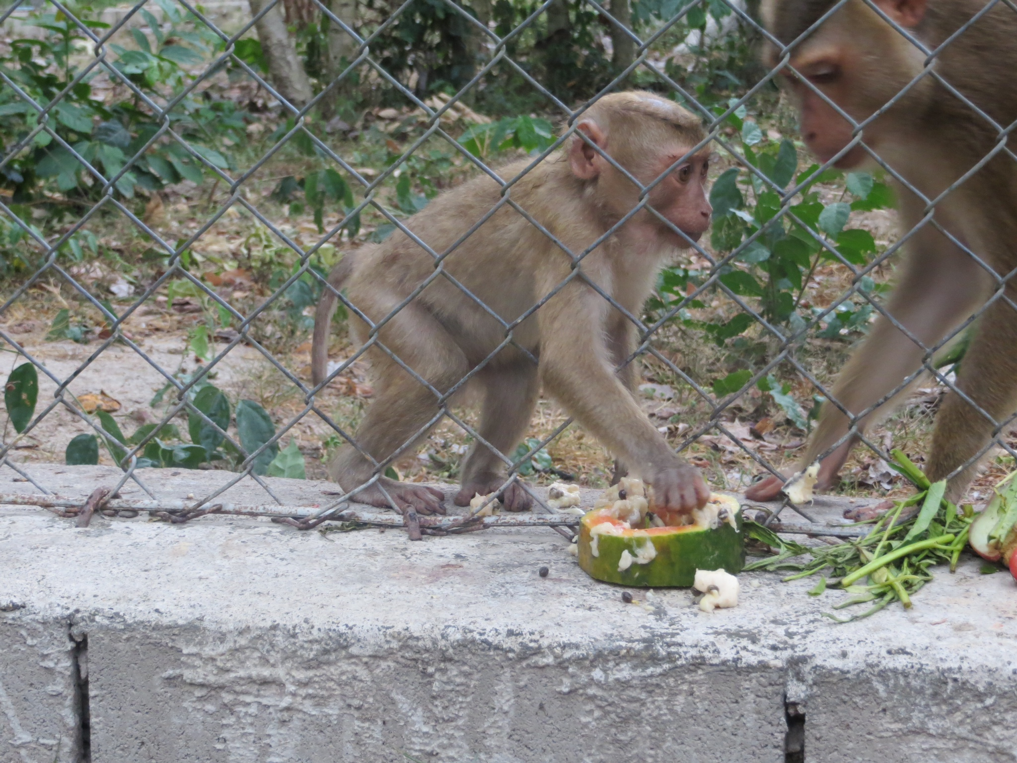 The baby macaque enjoying my enrichment before her momma came and stole it.jpeg