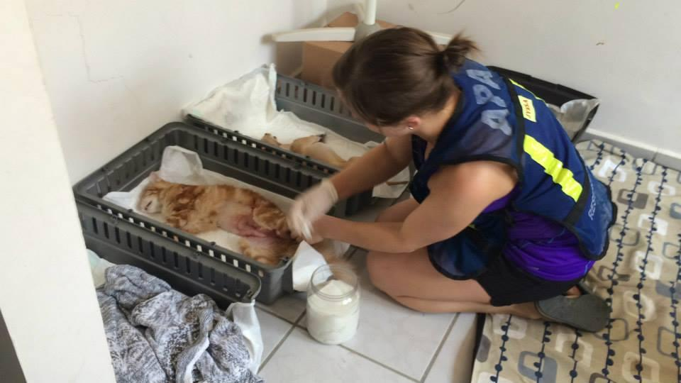 Volunteers assist with a spay neuter program.
