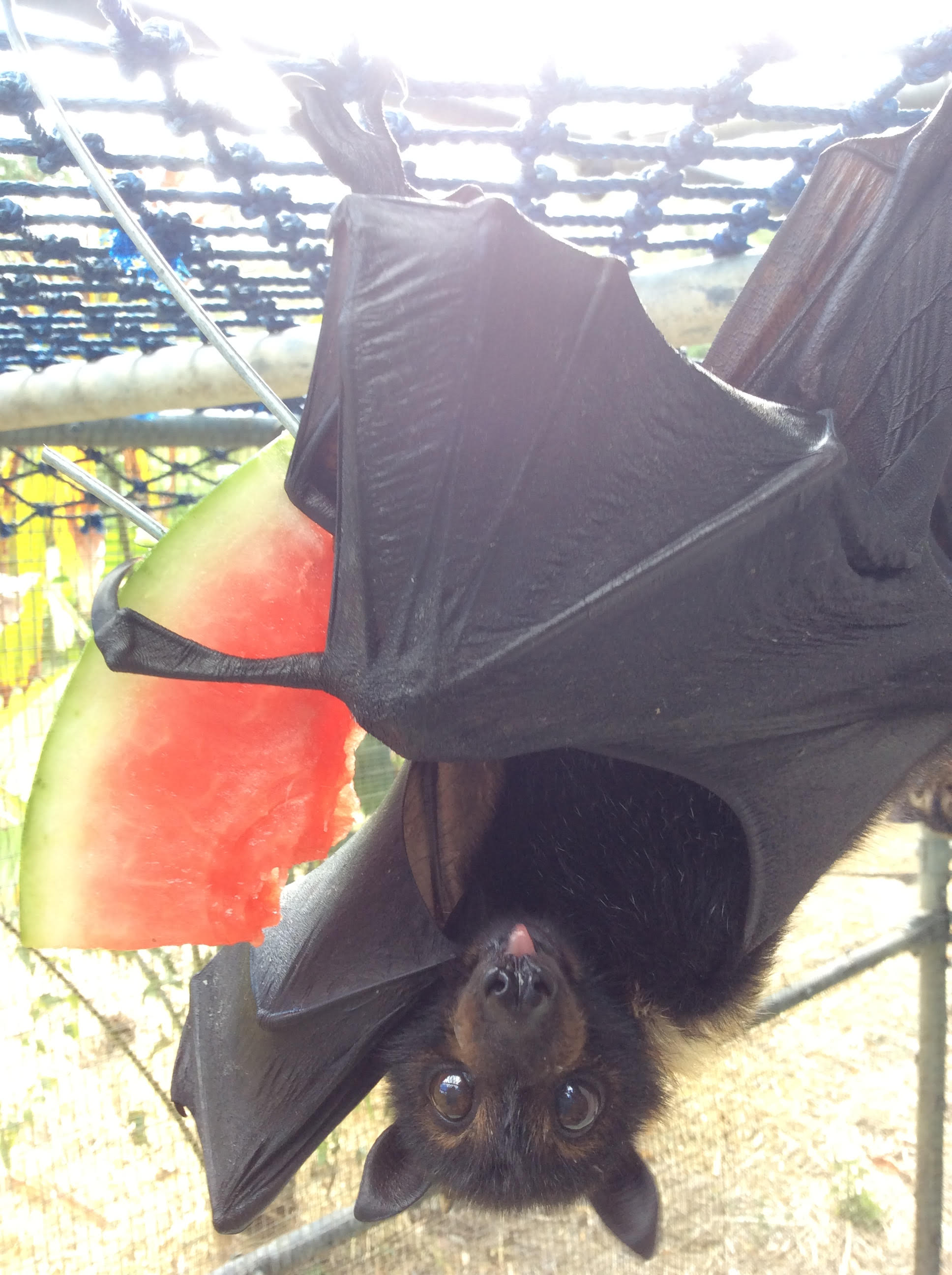 Flying fox silliness