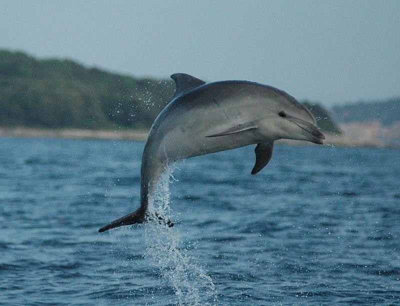 dolphin jump Vivamar r.jpg
