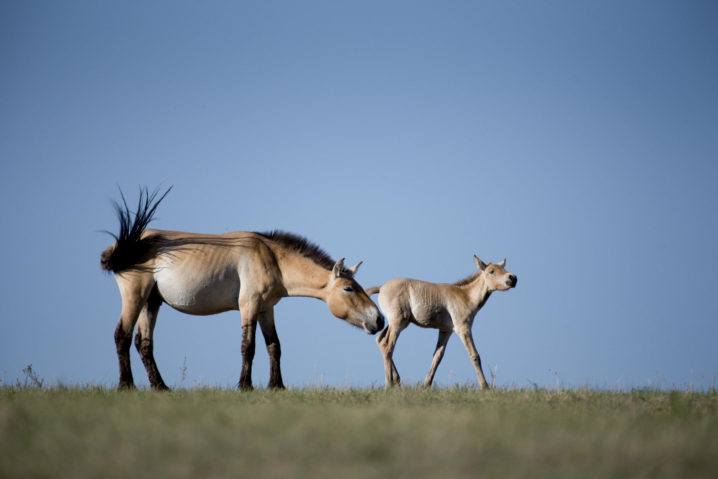 20170622-Mongolia horses 12.jpg