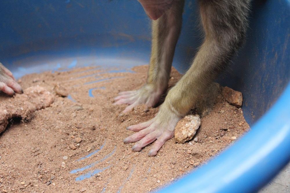 yellow-baboon-rehabilitation_37582855362_o.jpg