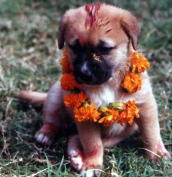 A puppy is blessed during Kukar Tihar.