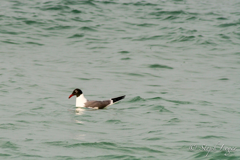 Laughing Gull ( Larus atricilla ) - St. Pete Beach, FL