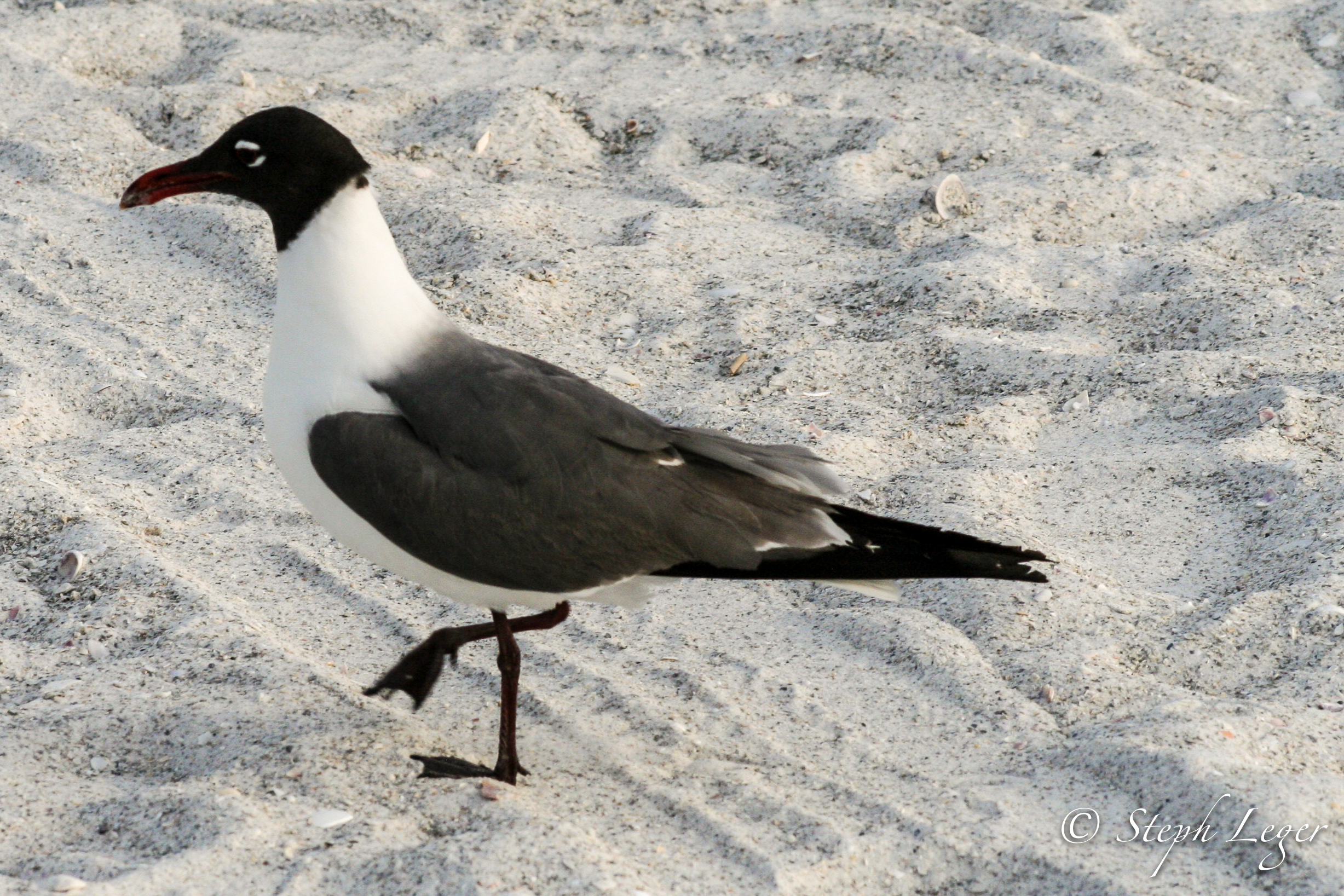 Laughing Gull ( Larus atricilla ) - St. Pete Beach, FL