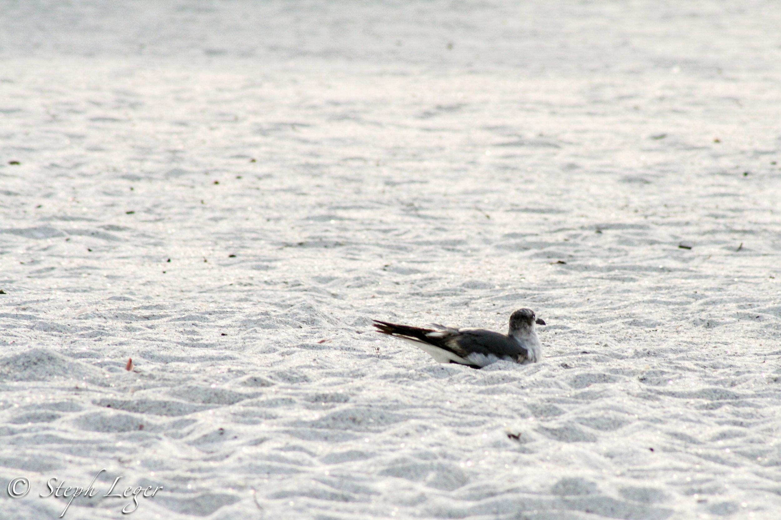 Juvenile Laughing Gull ( Larus atricilla ) - St. Pete Beach, FL