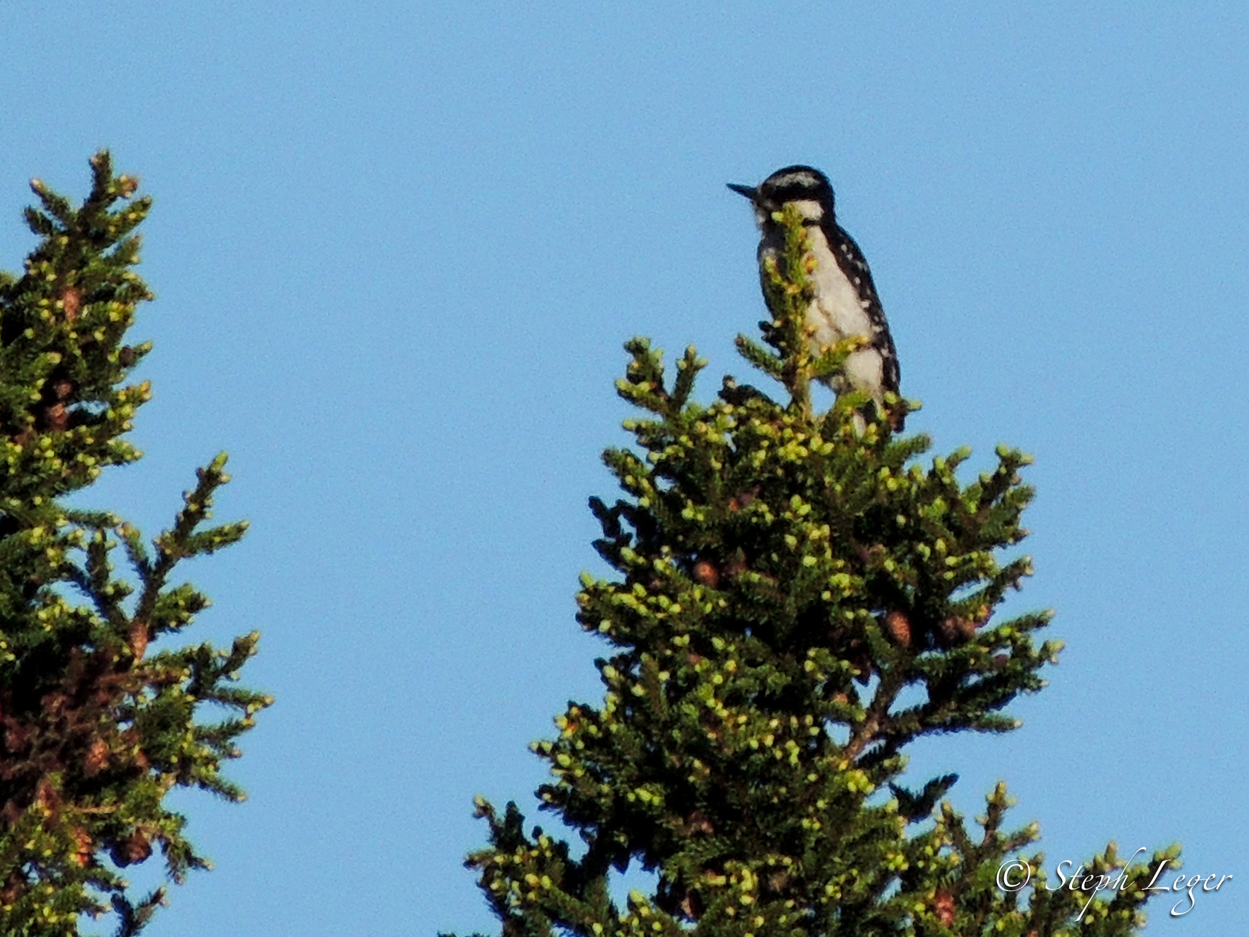 Hairy Woodpecker ( Leuconotopicus villosus ) female - Terra Nova National Park, Newfoundland