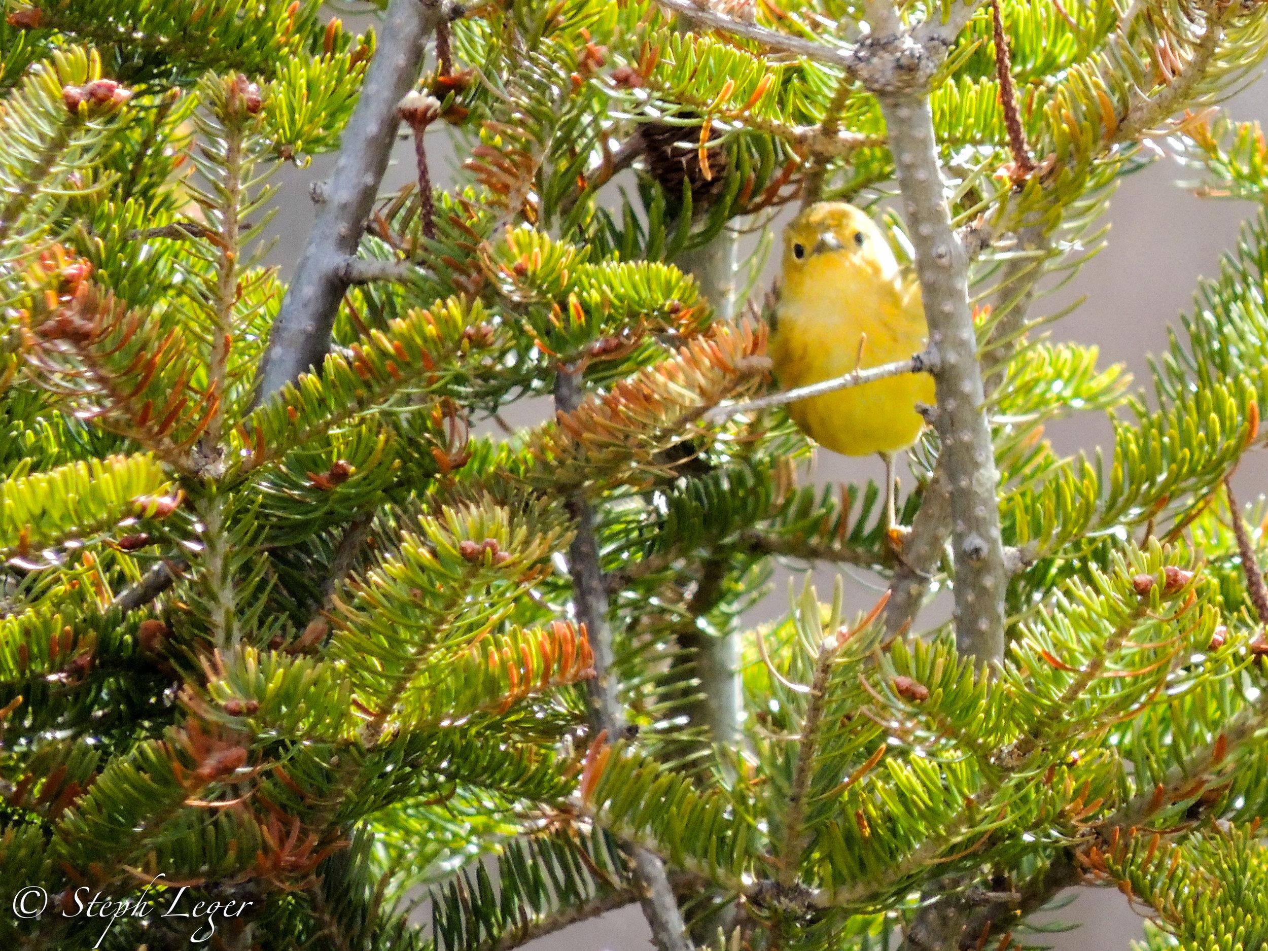 Pine Warbler ( Setophaga pinus ) - Terra Nova National Park, Newfoundland