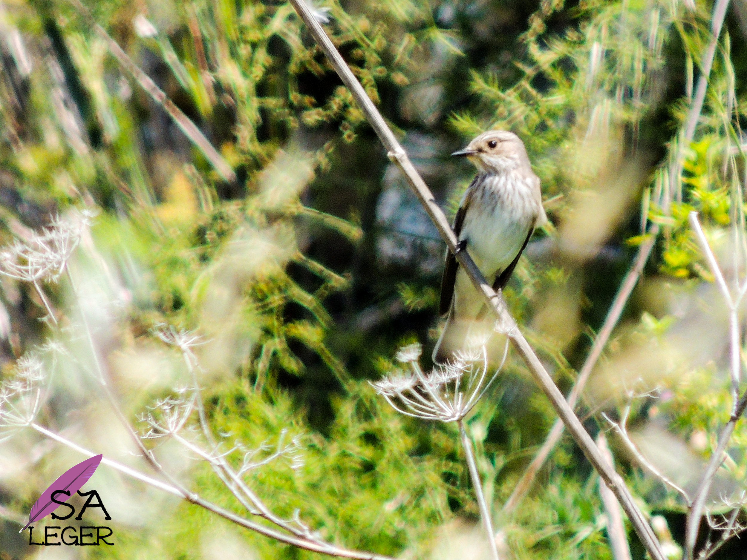 Spotted Flycatcher ( Muscicapa striata) - Wied Il-Għasri, Gozo, Malta