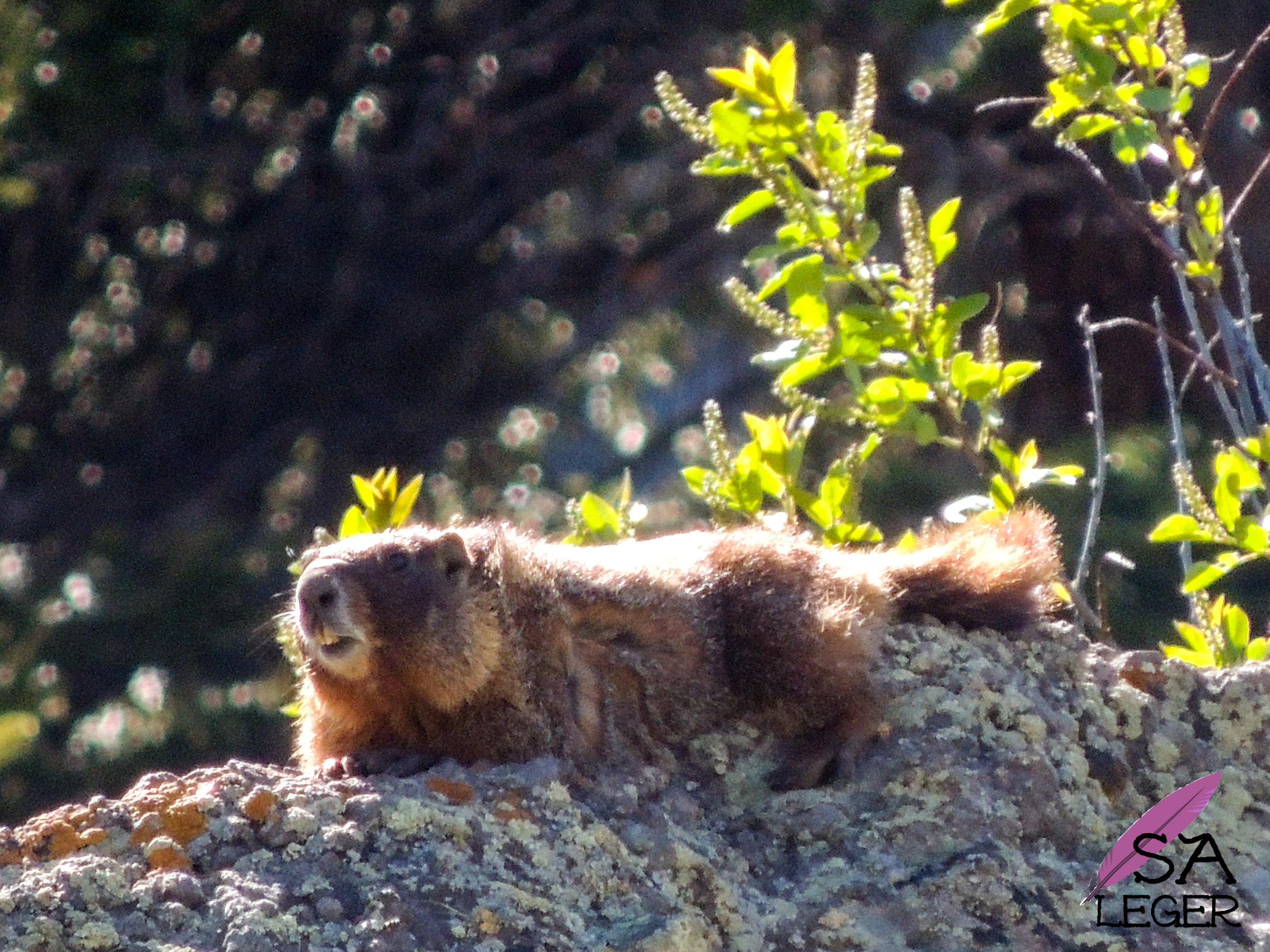 Yellow-bellied Marmot ( Marmota flaviventris ) - Currecanti National Recreation Area, Colorado