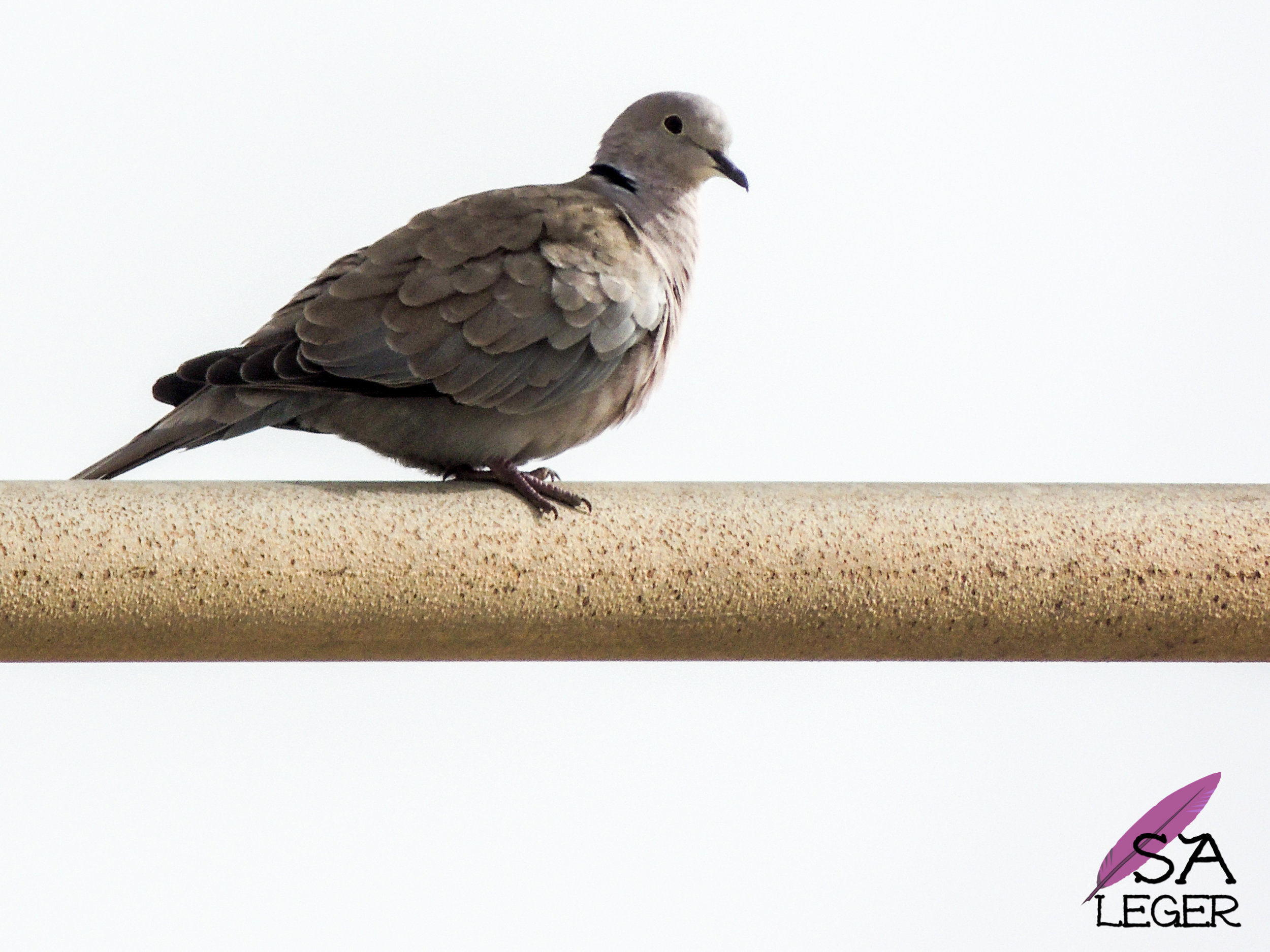 Eurasian Collared-dove ( Streptopelia decaocto ) - Malta