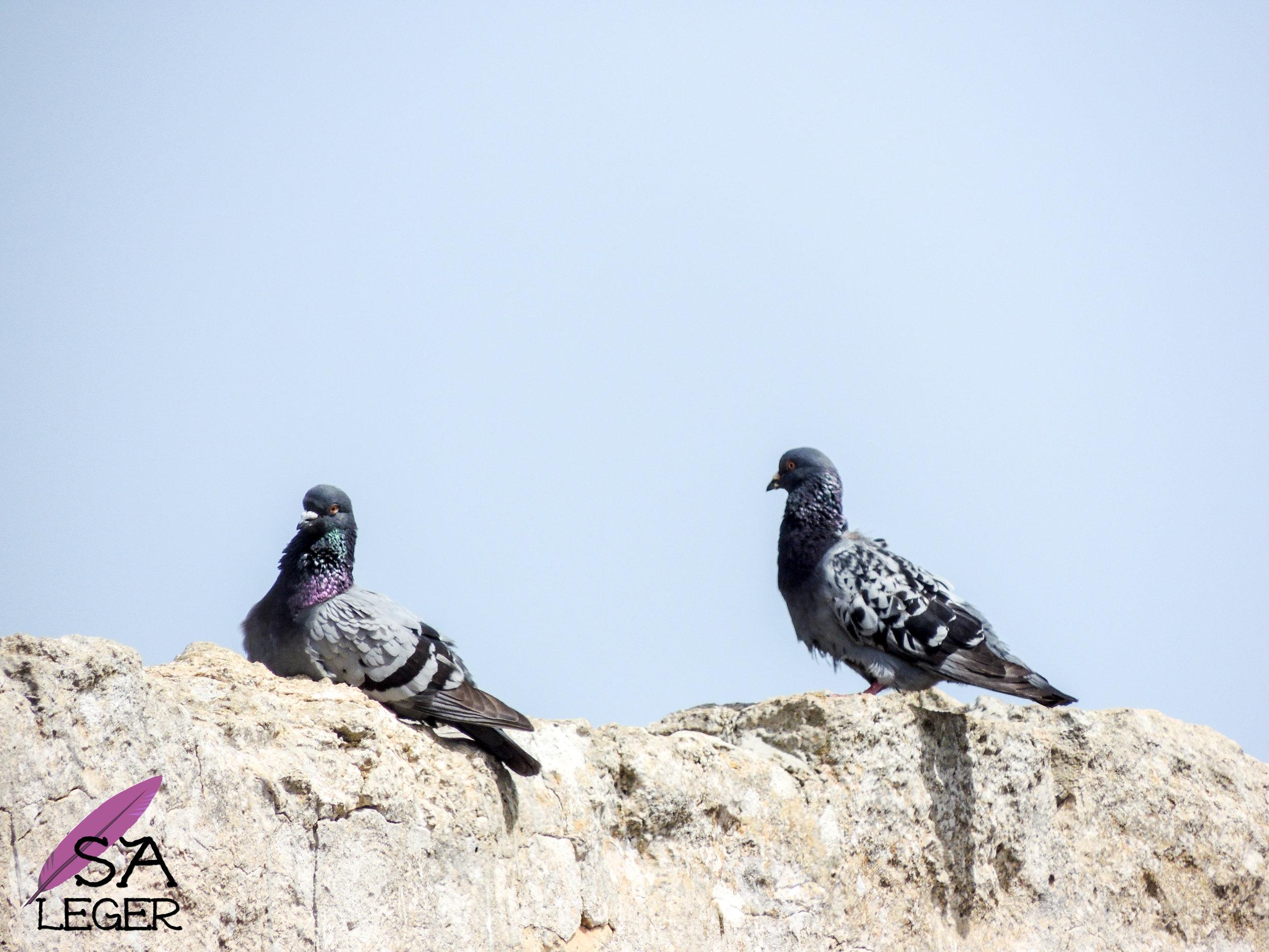 Rock Dove ( Columba livia ) - Comino, Malta