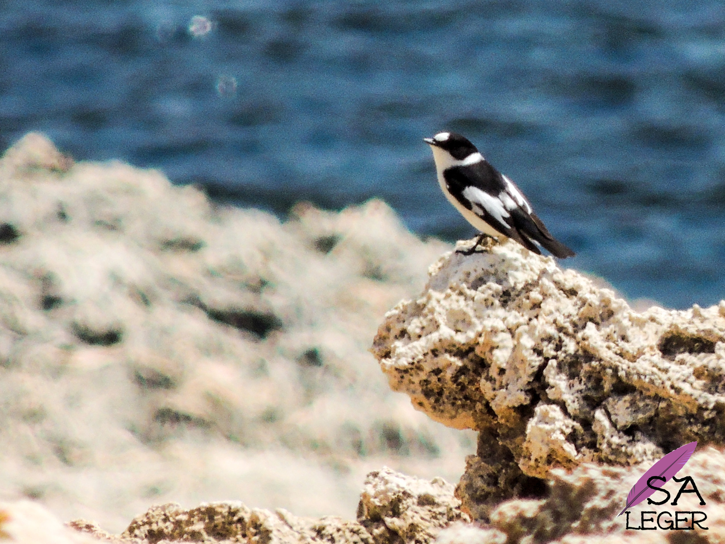 Collared Flycatcher ( Ficedula albicollis ) - Comino, Malta