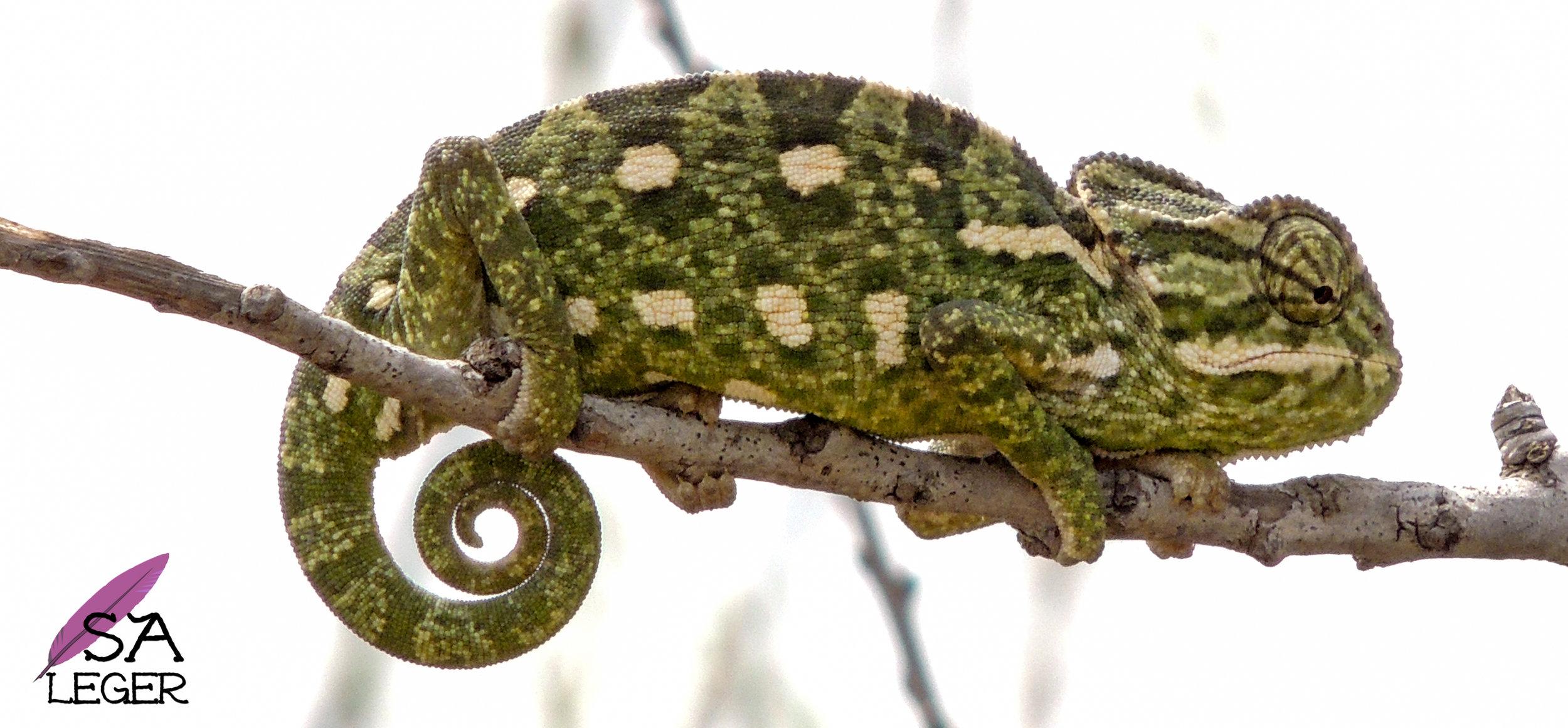 Mediterranean Chameleon ( Chamaeleo chamaeleon) - Għadira Nature Reserve, Malta