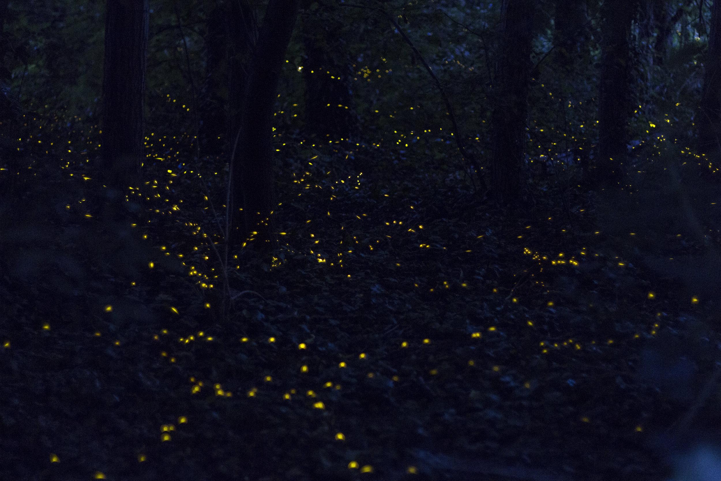 fotografare lucciole estate fotografia notturna