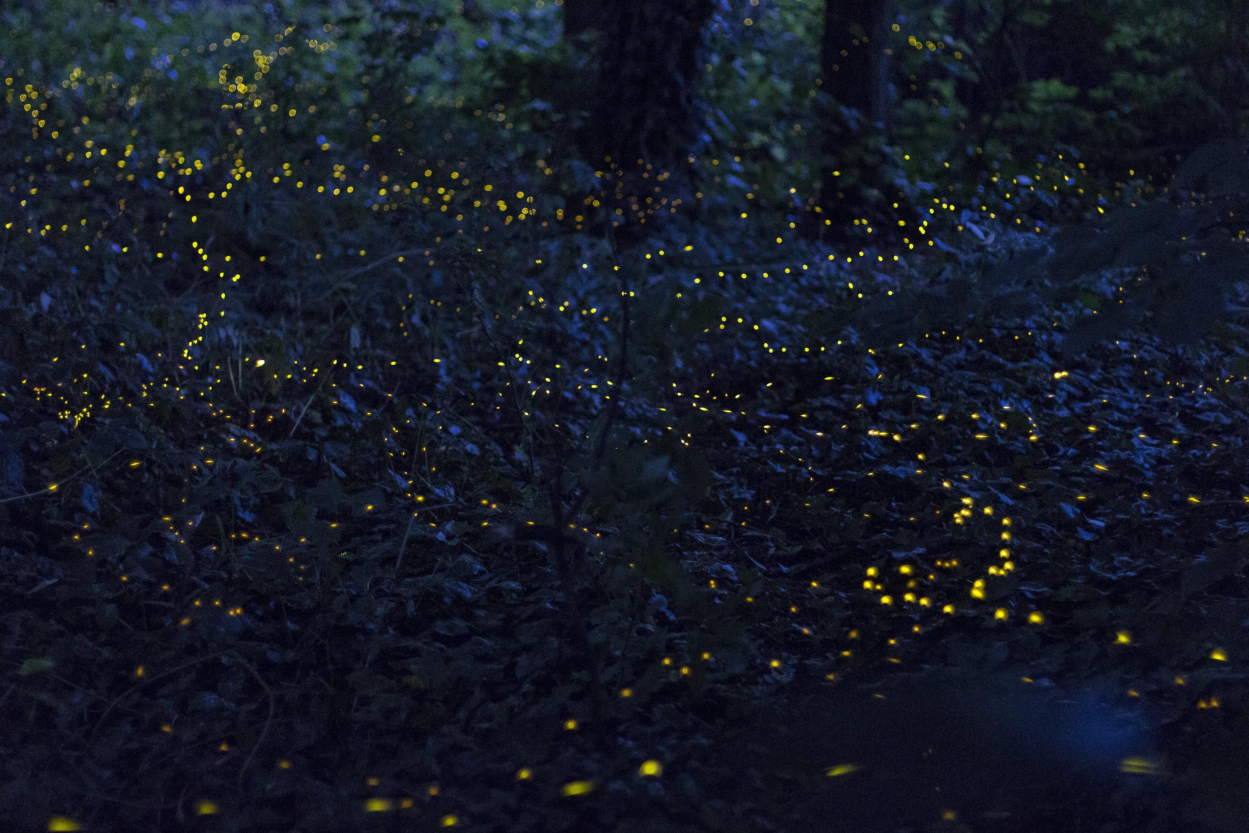 lucciole fotografia notturna milano insetti primavera