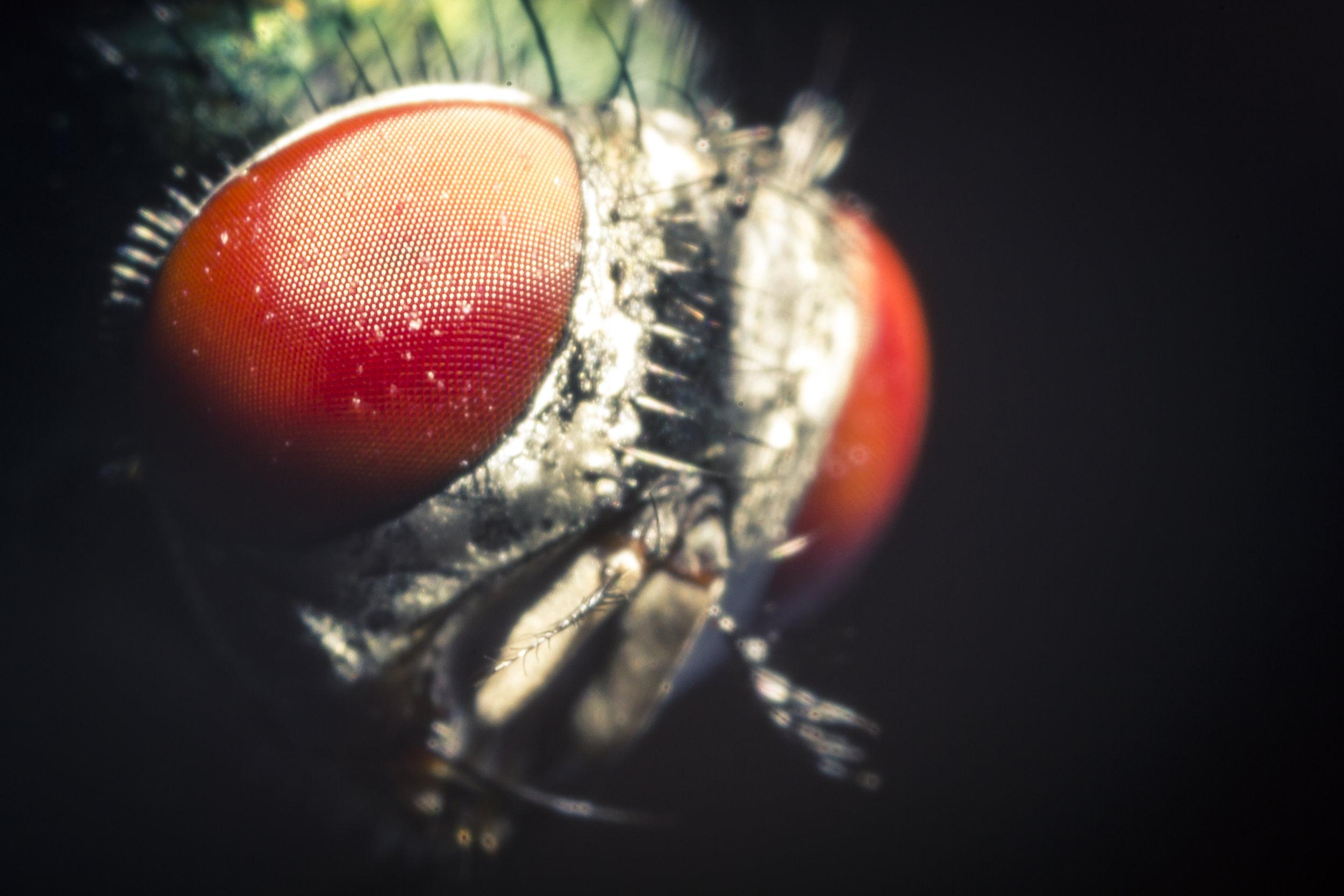 foto macro microscopio insetto occhi fotografo