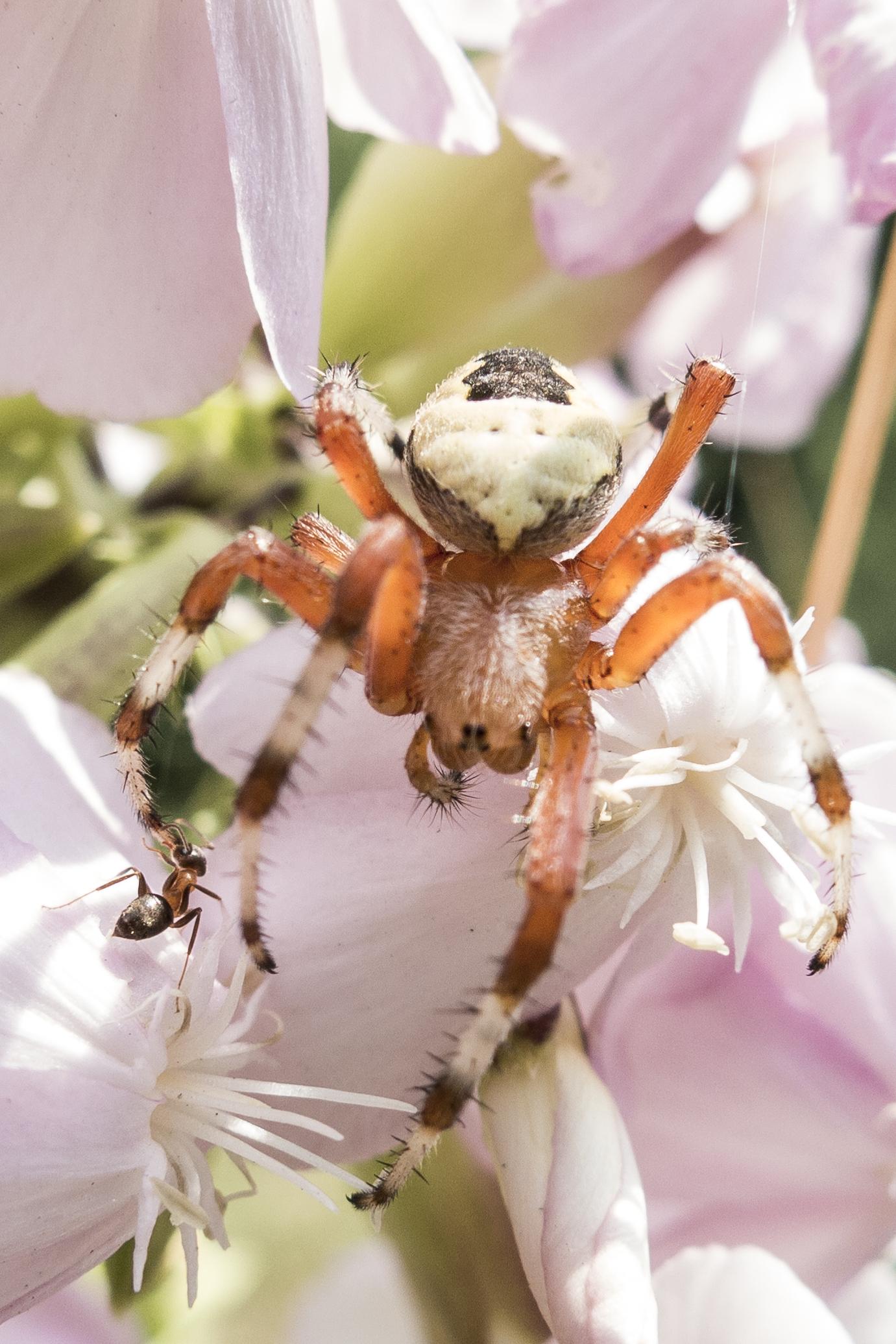 foto insetti ragno formica macro estate fotografo