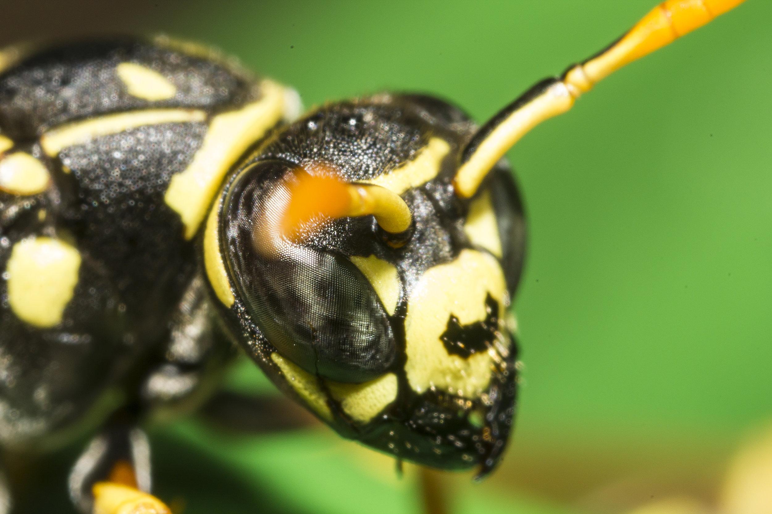 foto macro vespa calabrone ape fotografo animali