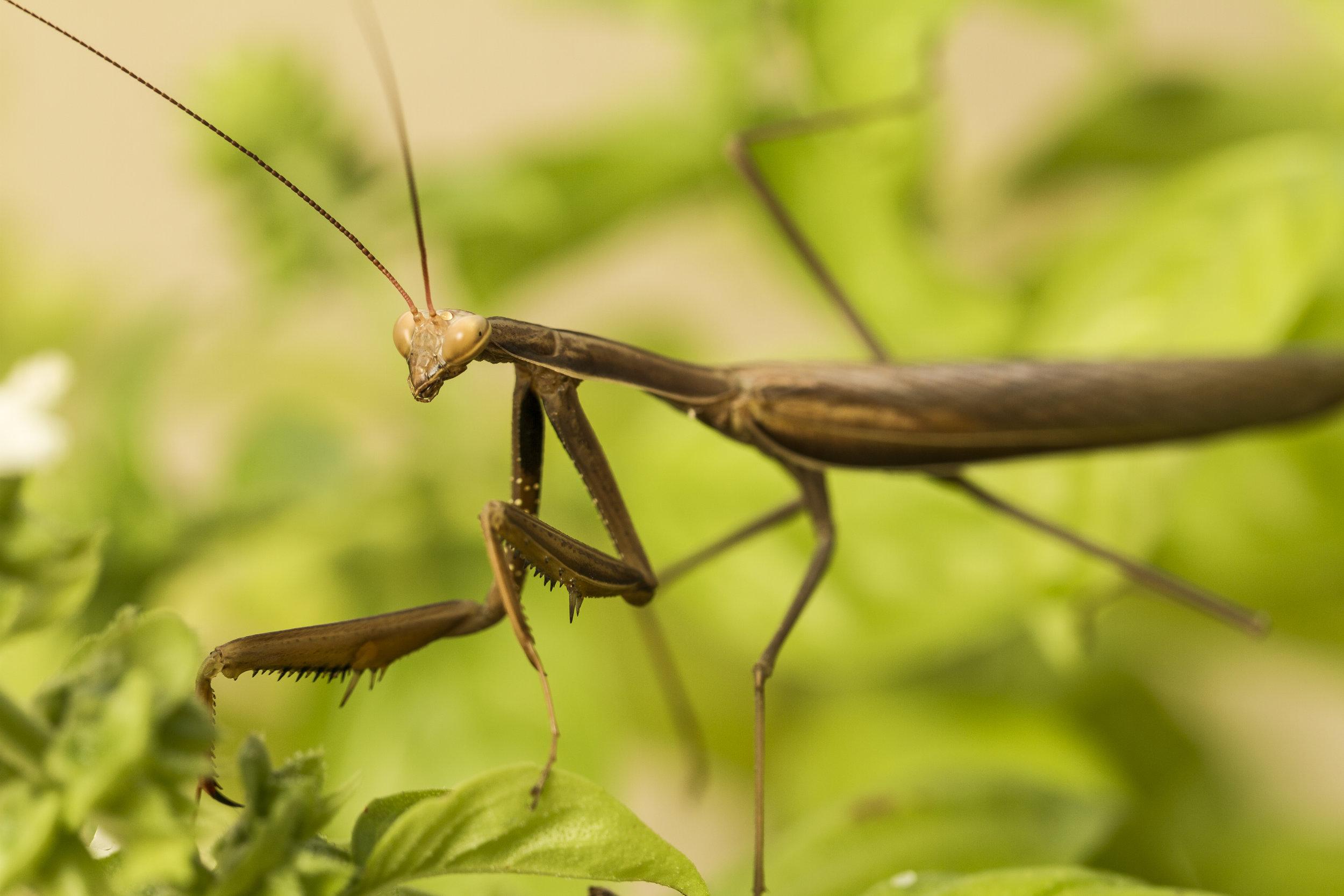mantide religiosa macro insetti foto animali fotografo