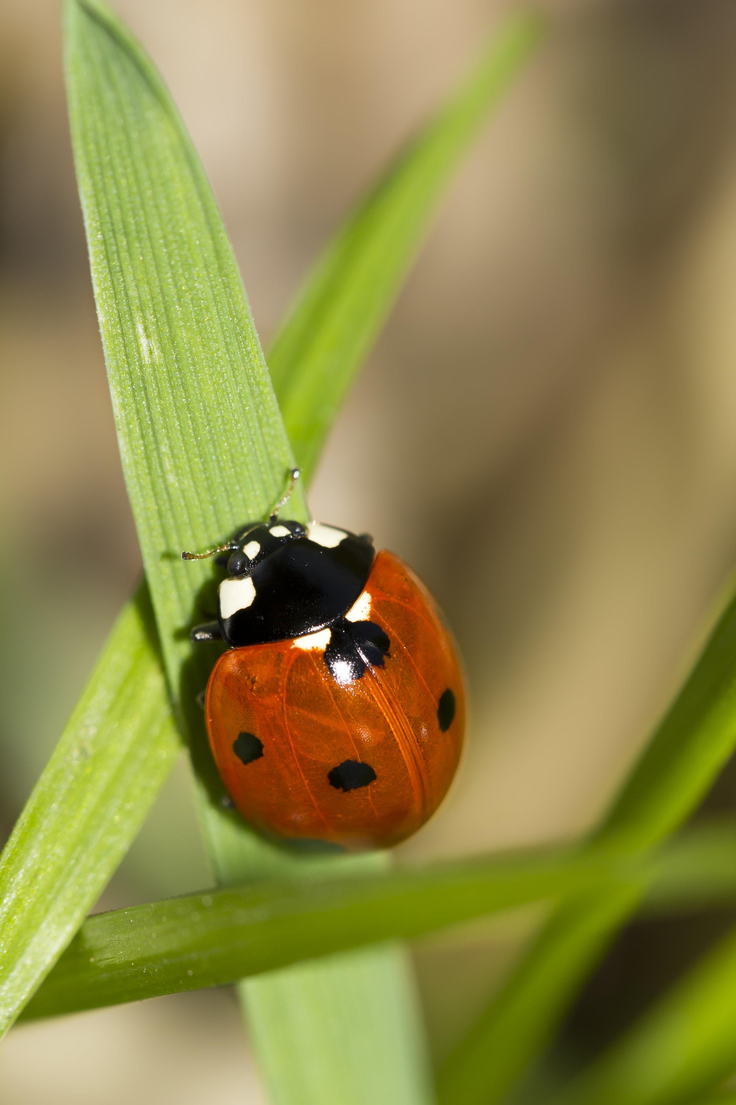 coccinella insetto macro foto milano natura fotografo