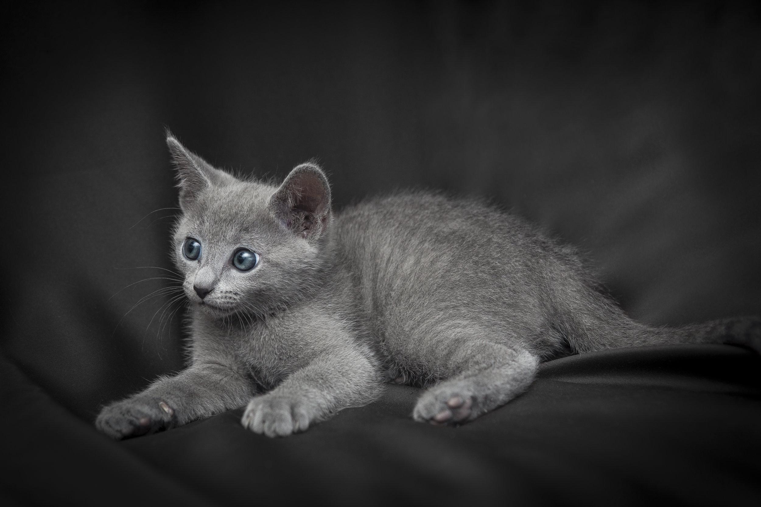 Cucciolo blu di Russia