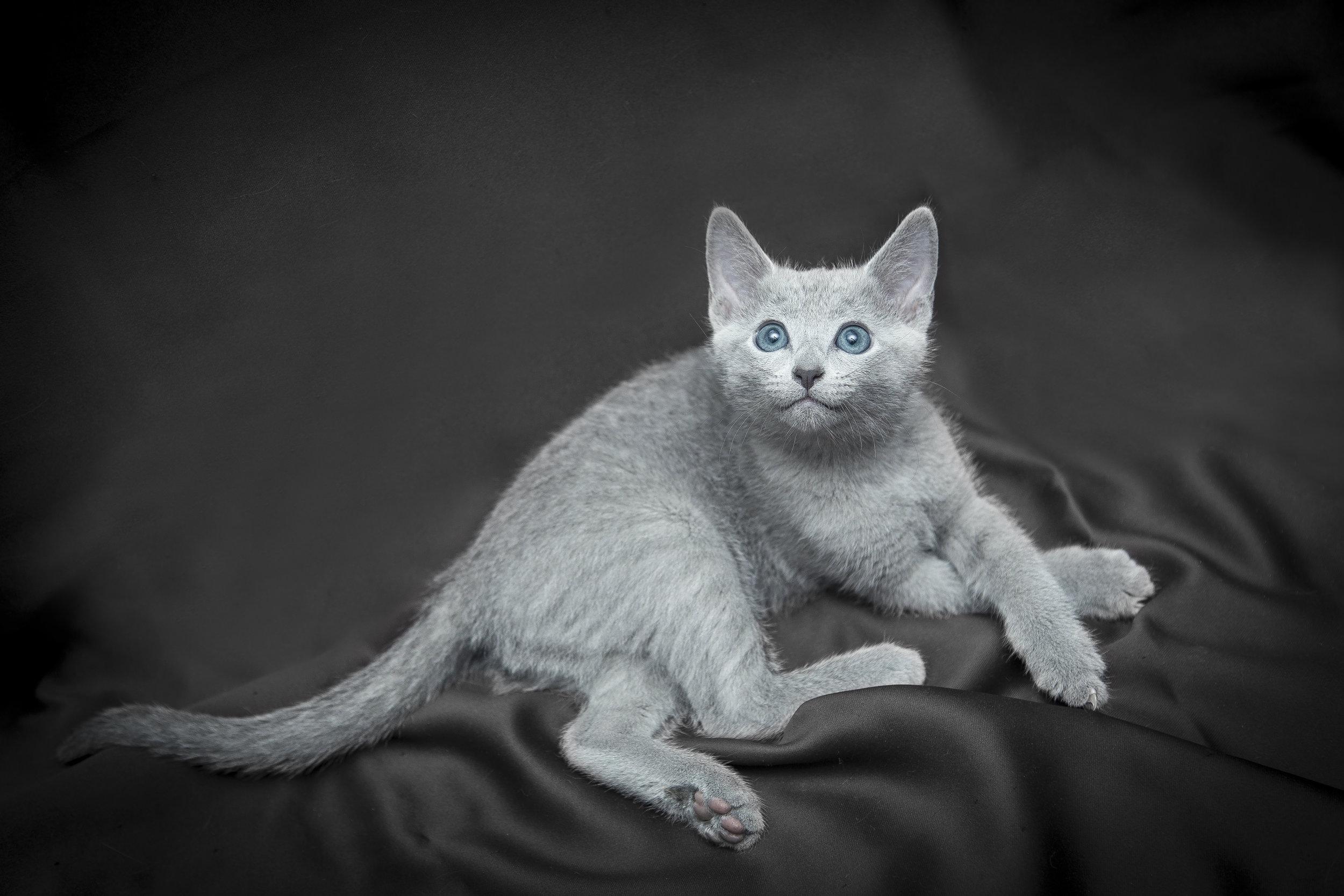 Micio con occhi azzurri