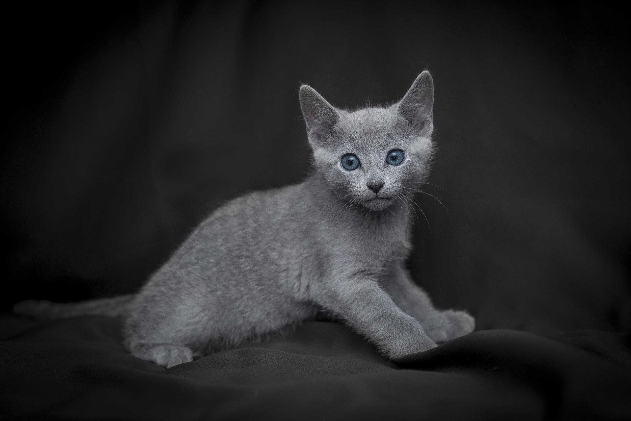Gattino con gli occhi blu
