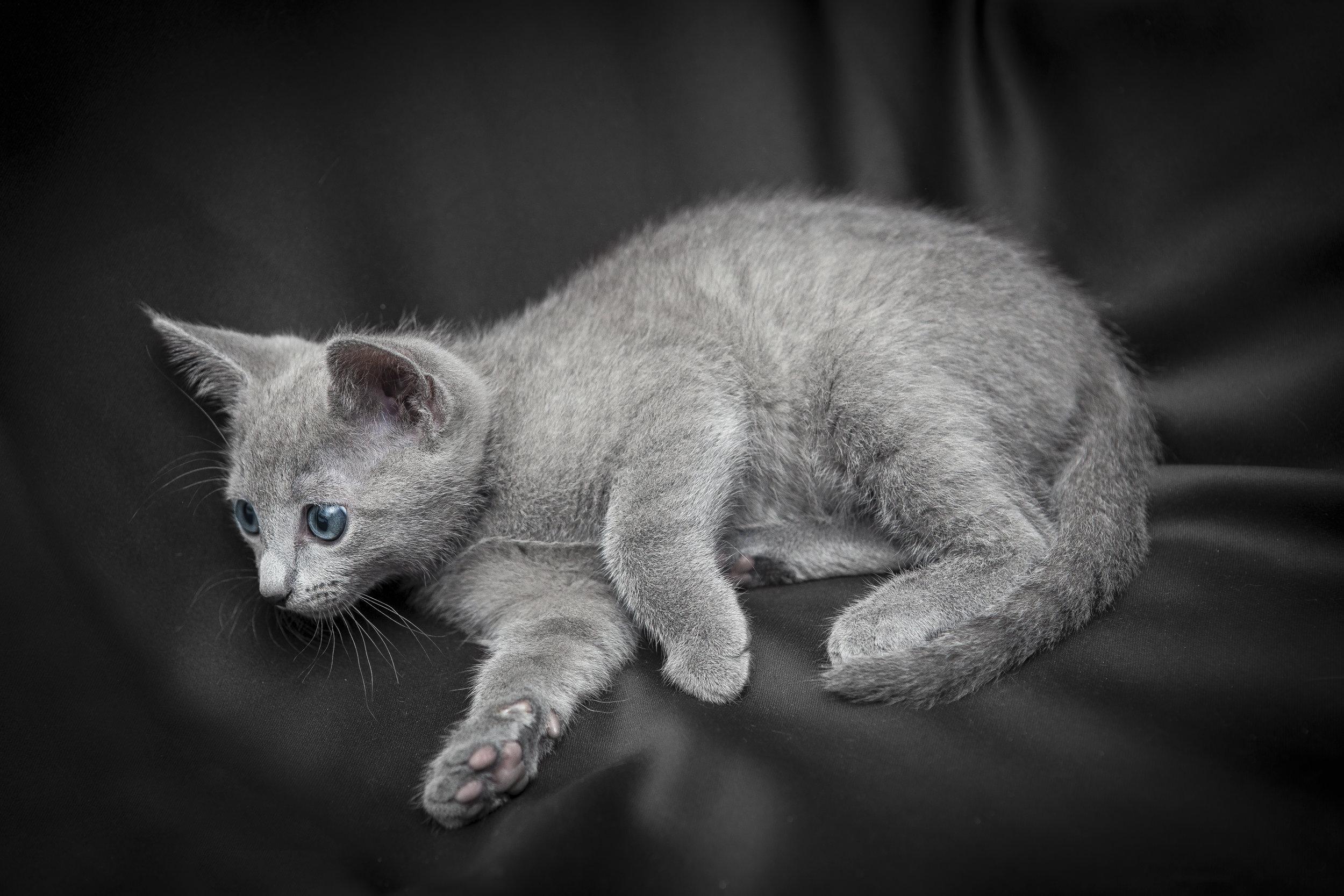 Foto di gattini di razza