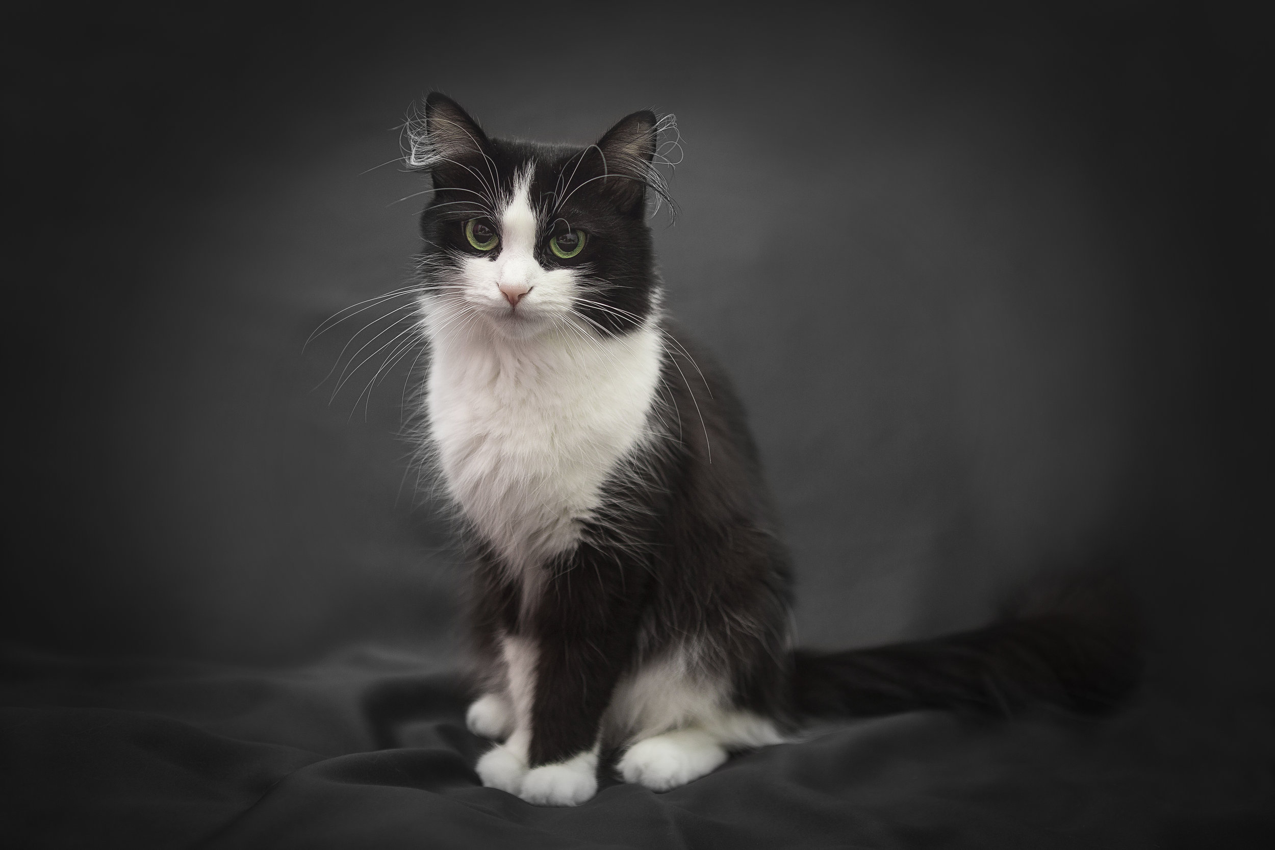 ritratto di una bella gattina