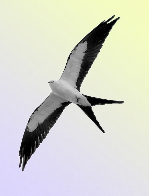Swallow-tailed kite | Credit via Wikipedia by  William H. Majoros - Own work, CC BY-SA 3.0