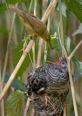 Reed warbler feeding cuckoo | Wikipedia