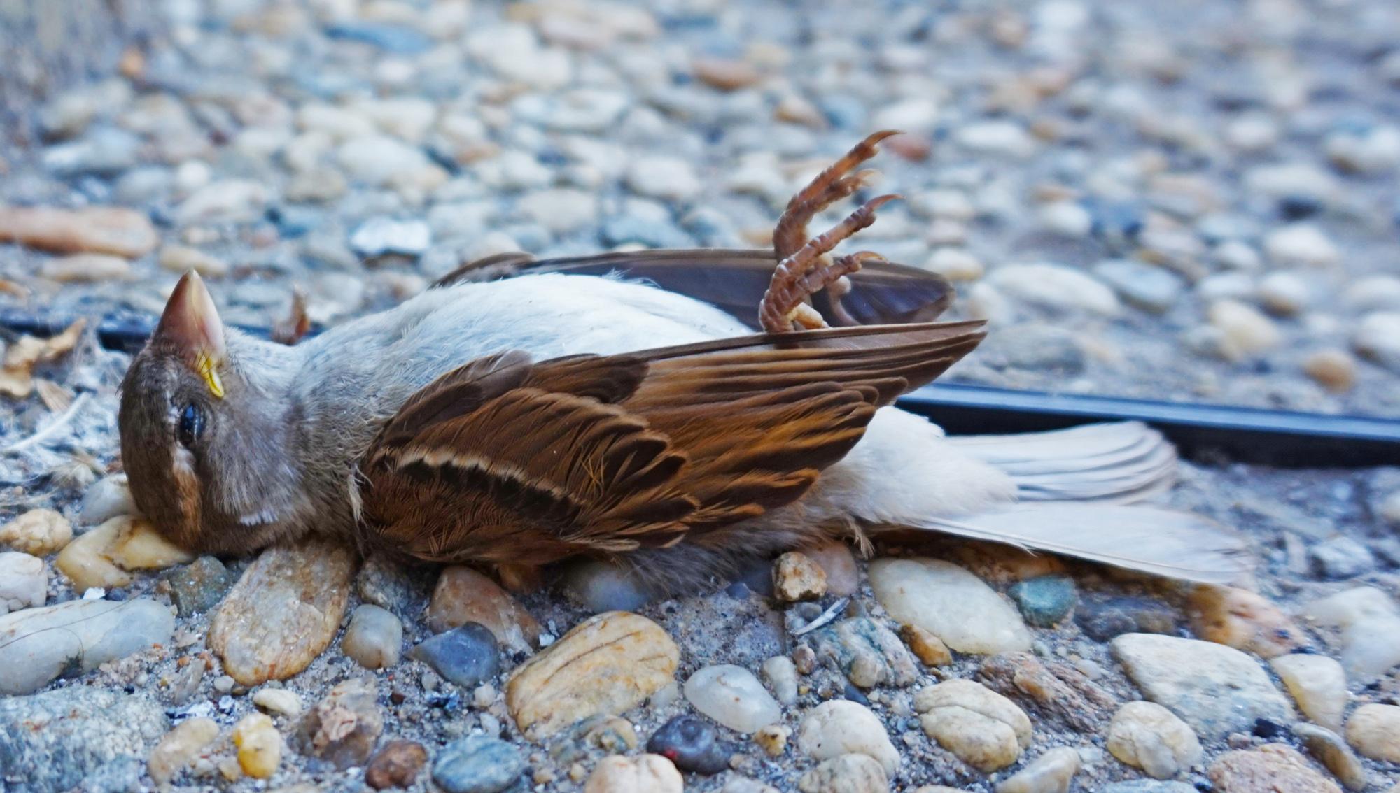 Dead Bird in Bucharest | Wikimedia Commons Licence