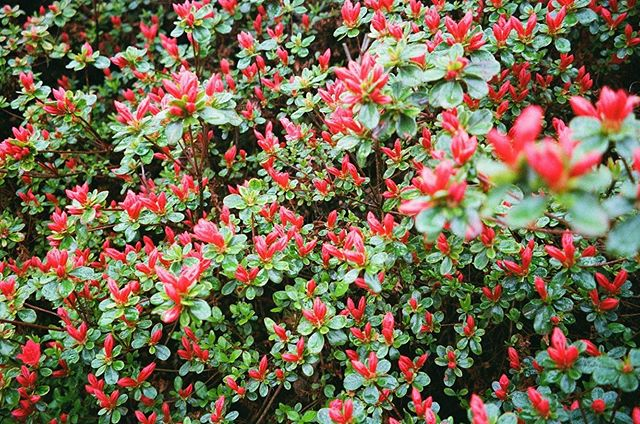plants in pdx on 35mm . . . #tea #flowers #35mm #pdx #red #floral #herbal #naturopath #masha #film