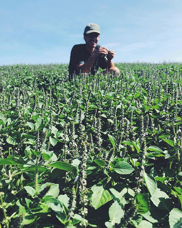 farmer ben in dream field of tulsi (((this is our holy basil tea and also the base for the herb chai . . . #tea #teatime #vermont #vt #organic #herbal