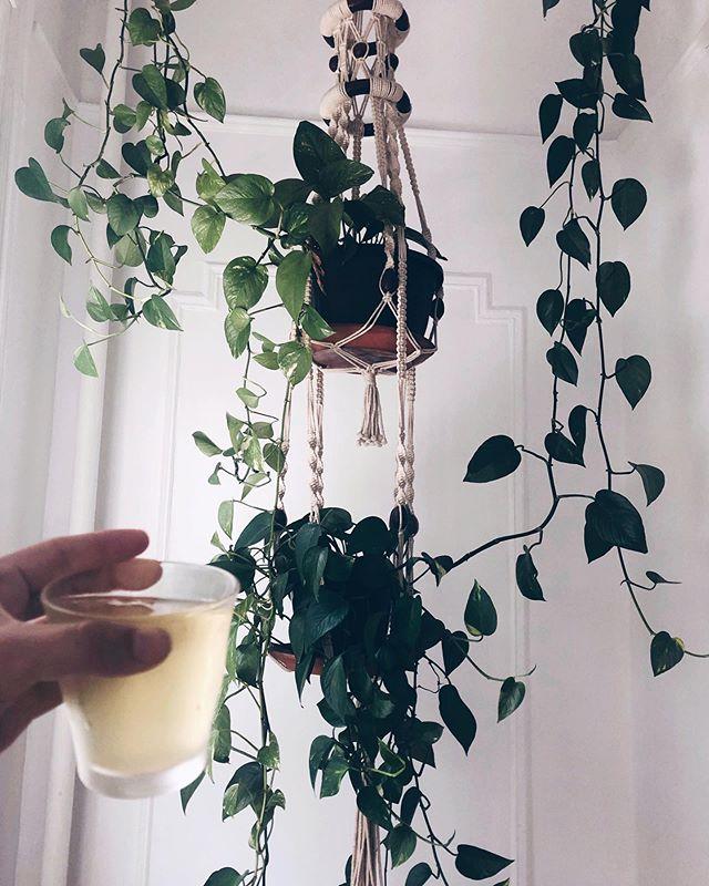 🌞brooklyn summer🦁 . . . #tea #plant #houseplant #pathos #icedtea #teatime #brooklyn #newyork #bk #brooklynsummer #summer #summer2019 #leoseason #astrology #herbs #herbalism #macrame #hangingplant #sunshine #leorising