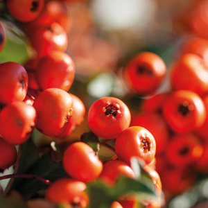 - Pyracantha Dart's RedWinter hardy. Red (non-toxic) berries. Screening flowers in the spring. Resistant to fire blight.