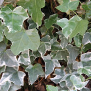 - Hedera helix GlacierStrong ivy with gray-green leaves, narrow white edge and silver-gray interior. Evergreen.