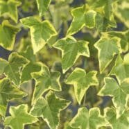 - Hedera helix GoldchildSlow growing ivy, gray-green leaves with a golden edge. Evergreen.